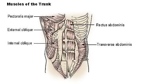 Illu_trunk_muscles